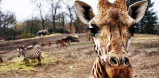 safari-west