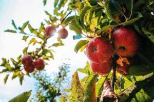 apple-ratzlaff-ranch