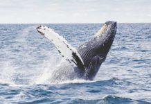 whale-migration-sonoma
